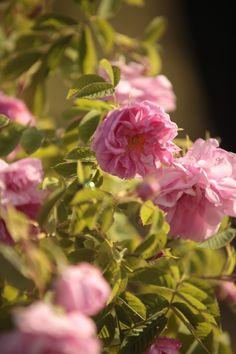 Bulgarian Rosa Damascena