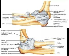 Elbow anatomy ligaments