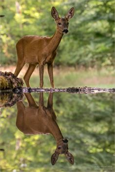 Deer reflection in a pond: