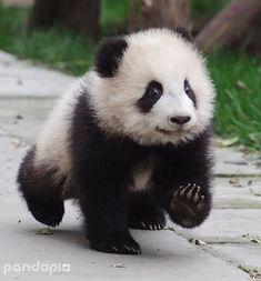 Cute Adorable Animals — Can you do a panda thread? Cute Adorable Animals — Can you do a panda thread? Cute Little Animals, Adorable Animals, Panda Mignon, Baby Panda Bears, Baby Pandas, Cute Panda Baby, Photo Animaliere, Little Panda, Tier Fotos