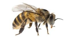 "A parasite that gives bees ""zombie-like"" qualities"