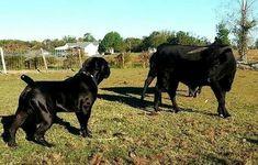 Boerboel vs Bull