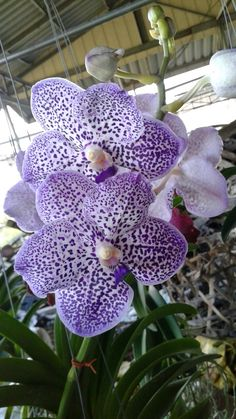 Plant has nice, healthy root system. Flowers are about in size, blue in color. Blue Wedding Flowers, Rare Flowers, Amazing Flowers, Colorful Flowers, Beautiful Flowers, Orchids Garden, Orchid Plants, Orchid Flower Arrangements, Tiffany Blue Weddings