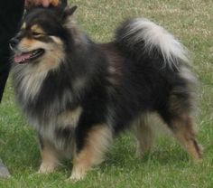 Finnish Lapphund: devoted to their family, friendly with all people, highly intelligent and eager to learn. One of the new breeds from the Westminster Dog Show Beautiful dog! Fluffy Dog Breeds, Fluffy Dogs, Herding Dogs, Purebred Dogs, Medium Sized Dogs, Medium Dogs, 15 Dogs, Dogs And Puppies, Doggies