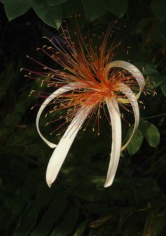 Pachira Aquatica.   ♡OMG...THAT'S A REAL FLOWER?!  I THOUGHT IT WAS ONE OF THOSE FUZZY WEEDS AND A BOW!  ♥A
