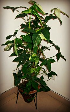 lot 3 m arbre en caoutchouc courtes une plante incroyab. Black Bedroom Furniture Sets. Home Design Ideas