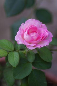 薔薇(ばら)  Rose