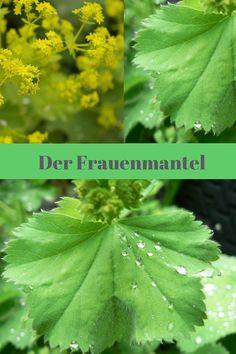 Der Frauenmantel - einst von Alchimisten heiß begehrt, heute noch eine wichtige Pflanze in der Volksmedizin.
