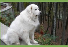 Great Pyrenees Rescue There are soo many that need homes from Great Pyrenees Rescue Organization in Atlanta