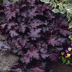 Purppurakeijunkukka Palace Purple - Viherpeukalot Different Plants, Different Colors, Heuchera, All Flowers, Fall Season, Perennials, Outdoor Gardens, Palace, Home And Garden