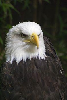 Eagle - Salato Wildlife Center, Frankfort, KY.  5/12/2012