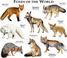Fine art illustration of various species of the world's foxes