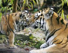 siberian tigers - Google'da Ara