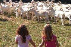 Essay Contests - Goat Dairy Essay