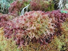 Sphagnum russowii is a species of peat moss with a Holarctic distribution.