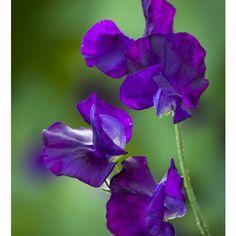 Sweet Pea 'Blue Velvet' from Sarah Raven - https://www.sarahraven.com/flowers/seeds/sweet_peas/sweet_pea_blue_velvet.htm