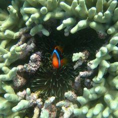 #Throwback to my #snorkel #adventures on the Great Barrier Reef five years ago! #tbt #australia #travel #wanderlust #travel #traveing #underwater #ocean #nemo #peekaboo #reef #greatbarrierreef #oz by _sarahallman_ http://ift.tt/1UokkV2