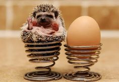 baby miniature animals // Baby Pygmy Hedgehog // How cute! Pygmy Hedgehog, Cute Hedgehog, Happy Hedgehog, Cute Baby Animals, Funny Animals, Small Animals, Wild Animals, Cutest Thing Ever, Tier Fotos