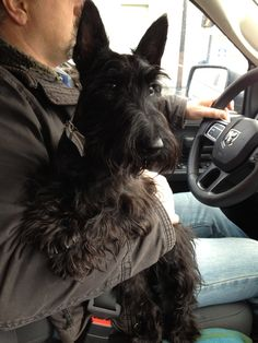 Riding in the truck with Daddy (Scottish terrier) I Love Dogs, Puppy Love, Cute Puppies, Cute Dogs, Animals And Pets, Cute Animals, Terrier Dogs, Westies, Little Dogs