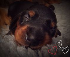 Miniature dachshund puppie, 10 days old - name: Black Diamond ❤️
