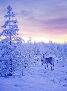 Another beautiful photo of Lapland, Finland - snow covered trees and a reindeer, not to mention that gorgeous sky! Winter Szenen, I Love Winter, Winter Magic, Winter Holidays, Snow Covered Trees, Snow Scenes, All Nature, Winter Pictures, Winter Beauty