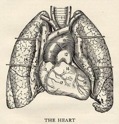1917 Heart scientific Illustration - The Heart in Black and White