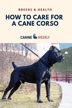 Cane Corsos are unusual dogs but their overall care specifications don t differ from most other dog breeds Read here to learn the necessary things you need to do to care for your Cane Corso their dietary exercise training and grooming requirements Cane Corso Dog Breed, Cane Corso Italian Mastiff, Cane Corso Italiano, Cane Corso Mastiff, Cane Corso Puppies, King Corso Dog, Top Dog Breeds, Large Dog Breeds, Unusual Dog Breeds