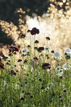 Scabiosa atropurpurea 'black & white mix'