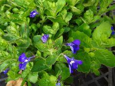Hot Brilliant Blue Lobelia