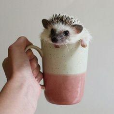 Calico The Hedgehog Hedgehog Pet, Cute Hedgehog, Hedgehog Tattoo, Cute Creatures, Beautiful Creatures, Animals Beautiful, Animals And Pets, Baby Animals, Super Cute Animals