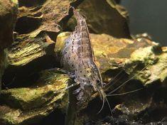Tropical Fish Aquarium, Fish Aquariums, Amano Shrimp, All Fish, Fish Tanks, Fresh Water, Content, Animals, Beautiful