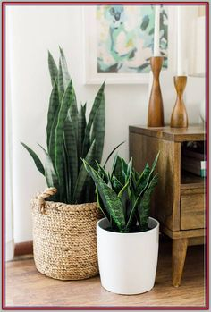 sansevieria snake plant plant display plant gang plant family big plants green foliage plants leaves cute pots for plants plants at home living with plants air purifying house plants clean air plants Cute Dorm Rooms, Cool Rooms, Farmhouse Side Table, Rustic Farmhouse, Big Plants, Indoor Plants, Hanging Plants, Retro Home Decor, Diy Home Decor