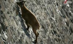 """Wahre Alpinisten sind die Gämsen. Ihre Kletterkünste übertreffen unsere Fähigkeiten bei Weitem. In unserer Sendung """"Wildes Land - Lebensraum Hochgebirge"""" besuchen wir sie und andere Überlebenskünstler in unwirtlichen Lebensräumen."""