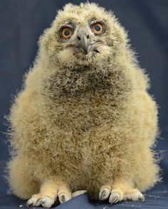 On March 13 this Eurasian Eagle Owl hatched at Pittsburgh's National Aviary, the first of its species hatched there and the first hatched in an AZA facility in the past five years. Follow her progress from hatching to TV star, today on Zooborns.com. http://www.zooborns.com/zooborns/2013/04/eurasian-eagle-owl-hatched-at-national-aviary.html