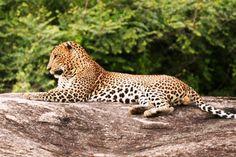 Yala safari, Yala national park of Sri Lanka Wildlife Nature, Leopards, Beautiful Cats, Big Cats, Cool Places To Visit, Pet Birds, Safari, National Parks, Tours