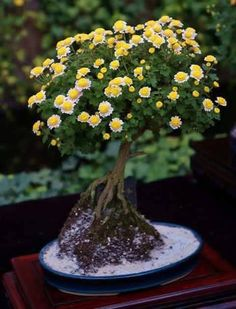 The ancient Japanese art of Bonsai creates a miniature version of a fully grown tree through careful potting, pruning and training. Even if you& not zen enough to labour over your own Bonsai,. Indoor Bonsai, Bonsai Plants, Bonsai Garden, Garden Trees, Trees To Plant, Garden Plants, Bonsai Trees, Air Plants, Cactus Plants