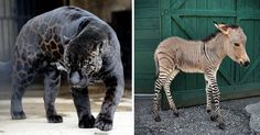 Legend is full of strange, hybrid creatures, and Photoshoppers have dedicated countless hours to creating new ones. But this list contains no Photoshopped images: all of these animals are real! You've all heard of the liger, but what about the narluga? Or the leopon?