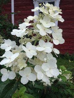 Syyshortensia. About Me Blog, Garden, Plants, Garten, Flora, Plant, Lawn And Garden, Outdoor, Tuin