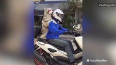 A passing vehicle filmed a dog with goggles riding passenger on a motorcycle in Bangkok, Thailand on Jan. 15.