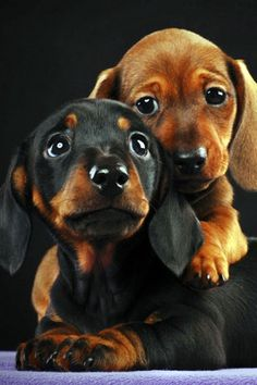 Beautiful Dachshund Puppies #doxie