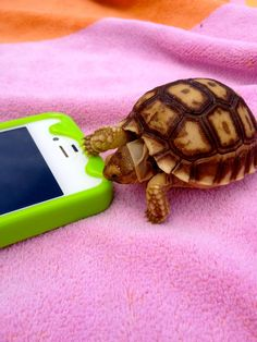 Tiny turtle eating an iPhone