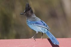 We don't see Steller's Jays that often, but they do show up on the fence occasionally to snack on various seeds on the ground.