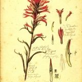 Featured Drawings by Rudolf Blaschka from Botanical Wonders | Corning Museum of Glass