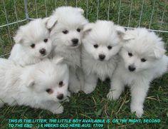 American-eskimo-puppies