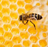 Honey bee Stock Photos and Images. 14,069 honey bee pictures and royalty free photography available to search from over 100 stock photo bran...