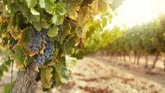 A produção da uva pode ser direcionada para o consumo in natura ou para a fabricação de sucos e vinhos