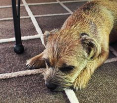 Zoe Border Terrier, Little Brown, Brown Dog, Terriers, Dogs, Pictures, Photos, Terrier, Pet Dogs