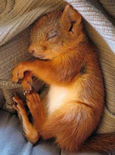 SUPER CUTE BABY SQUIRREL SLEEPING (Eekhoorn)