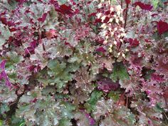 There are MANY types of Heuchera (Coral Bells), in colors including red, orange, salmon, grey and green.  The leaves on this plant are curled, though some can be flat and smooth.  An excellent and versatile plant that can be grown in sun or part shade.  It is also somewhat drought tolerant.