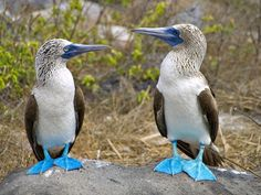 Blue Footed Boobies Alcatraz Patiazul, Booby Bird, Blue Footed Booby, Funny Birds, Galapagos Islands, Cute Animal Pictures, Animals Of The World, Fauna, Wild Birds